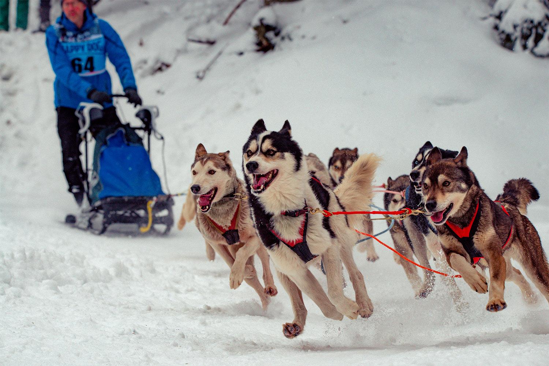 Meute . Hundeschlittenrennen Frauenwald 2018 (Foto: Jens Gutberlet)